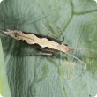 Diamondback moth on cauliflower leaf