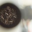 med fly eggs on a petri dish