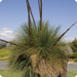 Grass tree with six brown flower spikes and fine green foliage.