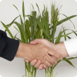 Hands shaking in front of growing wheat.