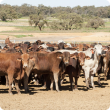 More than 40 red, brown and grey cattle standing alongside each other in a yard with several green trees in the background.