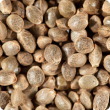 Close up of industrial hemp seed.