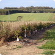 New avocado planting showing irrigation line, emitters and natural wind-break option