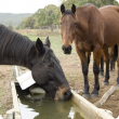 One horse drinking at a water trough as another horse stands nearby.
