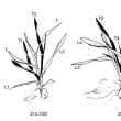 Sketch of cereal stages seedling development as described by Zadoks growth stages