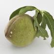 Oviposition damage to nectarine