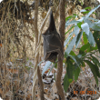 Bat with Australian bat lyssavirus