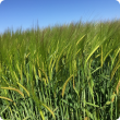 A picture of Barley in the field in Dandaragan