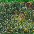 Barley yellow dwarf virus infection of barley