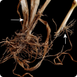 Fallen tillers caused by adult beetles chewing stems in spring.