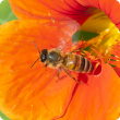 Bee on an orange coloured nasturtian flower.