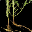 Bent taproot unable to penetrate ironstone subsoil