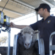 Weighing sheep
