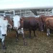 Cattle in saleyards