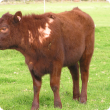 calf with hair loss due to cattle lice