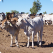 Brahman calves in the northern rangelands