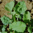 Uniformly affected plants with pale leaf blotches