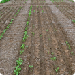 Variable emergence between and within seeding rows