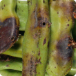 Green pods with brown marks caused by carob moth infestation.