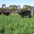 Angus heifers grazing in a paddock of cereal crop
