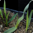 Pale stripes and distortion on young leaves due to pre-emergent chlorsulfuron damage in wheat (left), barley (centre) and oats (right).