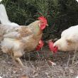 Three hens grazing under an acacia tree