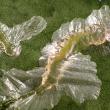 CLM larvae