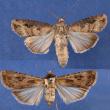 Cutworm moths