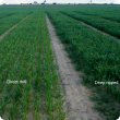 Less vigourous often nitrogen deficient plants on compacted soil.