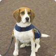 A beagle detector dog called Boston