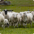 Dorper ewes and lambs