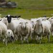 Dorper ewes and lambs