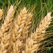 Wheat in paddock