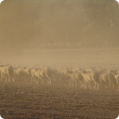 Sheep in a dry, dusty paddock