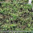 Establishment: plant cotyledons are still present.