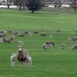 Merino ewe with poll dorset twins in a paddock.