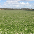 French serradella Margurita established with summer sowing