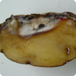 A potato tuber cut in half revealing fungal growth inside a cavity