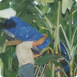 Harvesting bananas in the ORIA