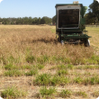 Small plot harvester harvesting a lupin crop sown over dormant subtropical perennial grasses.