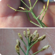Sterile flowers that lead to pod abortion