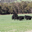 Angus heifers with angus bull serving one of the heifers