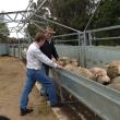 Inspecting sheep on farm.