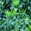 New growth flush on orange trees