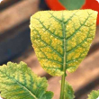 Younger leaves develop interveinal paleness/yellowing, but veins remain green