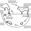 The life cycle of the liver fluke starts when the sheep or cow eat cysts on pasture. The flukes develop and eggs pass out and make their way into streams where the larvae invade a host snail and the next larval stage migrates onto the pasture.