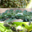 Green peach aphid (top), bluegreen aphid (centre), cowpea aphid (below)