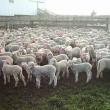 lambs at marking