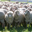 Department of Agriculture and Food principal veterinary officer Brown Besier has advised sheep producers to drench ewes in autumn to avoid winter worm problems.