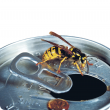 European wasp on a can